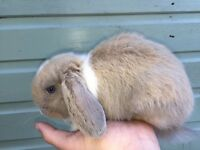 STUNNING MINI LOPS READY FOR RESERVE