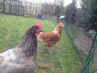 Omlet Chicken Fencing