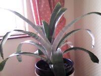Aechmea fasciata plant