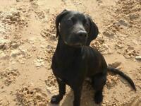 Labrador 11 months male