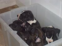 Beautiful cute puppies, 4 girls and 5 boys for sale