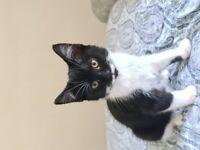 Black and white female kitten very friendly