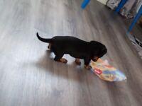 Miniature dachshund puppies pedigrees. Champions in bloodline