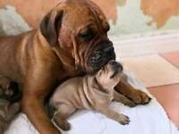 Bullmastiff puppies for sale