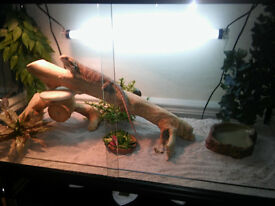 Bearded dragon and terrarium with accessories