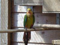lost near bangor/groomsport barraband parrot