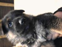 kc registered german shepherd puppies. Both parents have been health tested.