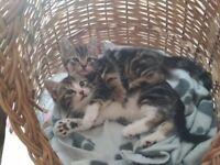 Kittens boy's x 2