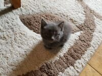 Beautiful grey kitten. Flead and wormed playful and happy