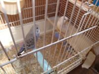 BUDGIES FOR SALE.