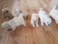 Beautiful Shichon puppies ( Bichon fries x Shih Tzu)