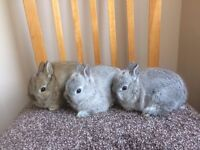 Netherlands Dwarf 8 weeks old babies rabbits