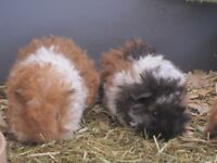 Baby Longhaired Guinea Pigs For Sale