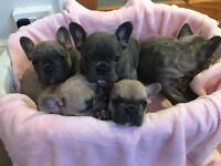 Ready to go - French bulldog puppies!!!