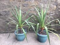 2 outdoor flowering yucca plants (price is for both)