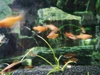 Swordtails Livebearer Tropical Fish
