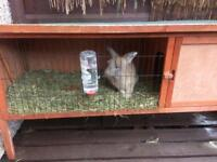 Lion head rabbit 4 month old with cage