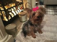Yorkshire terrier puppy little girl