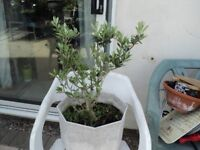olive tree comes ready potted and in good condition 68 cms high
