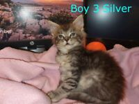 Maine Coon Kittens - 3 Left. Both parents Pedigree with Papers