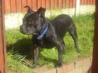 Staffordshire Bull Terrier Free to loving Home