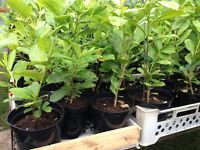 Laurel Hedging Plants Sale *Half Price* size 18 inches
