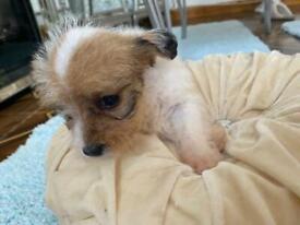 Bichomfrise terrier