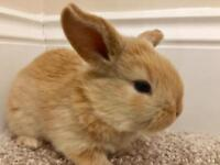Mini Lop X Rex Baby Bunny Rabbits For Sale - Ready 25th March 2018