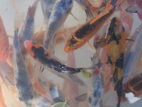 koi carp for sale pond fish