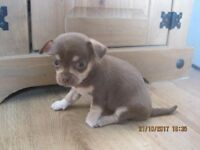1 FEMALE CHIHUAHUA PUP FOR SALE