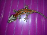 Male Gargoyle Gecko