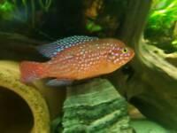 "Red Jewel Male Cichlid 6"""