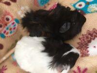 Fluffy baby Guinea pig girls / pair