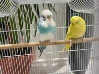 Pair of exhibition budgies with cage