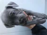 Absolutely stunning Irish blue staff Puppy for sale