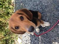 Beagle Puppy $300 *Basics Included*
