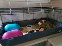 Female Guinea Pigs for sale