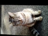 cat for sale twelve months old tabby she as been speyed and fully injection.
