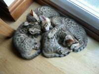Bengal kittens for sale, ready NOW
