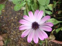 INDOOR/OUTDOOR PLANTS YELLOW POPPY SEEDS/WALLFLOWER SEEDS AND DAHLIA ROOTS