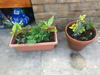 Garden plants in terracotta pots. Collect from Fulham
