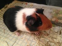 Guinea pig male 6 months old