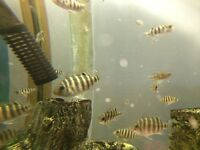Tropical Fish - Spotted Tilapia (Tilapia Mariae) Fry - 5 for £5