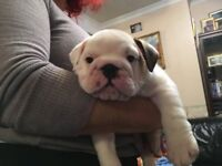 ENGLISH Bulldog puppies british,Father won BEST BULLDOG of Crufts 2018