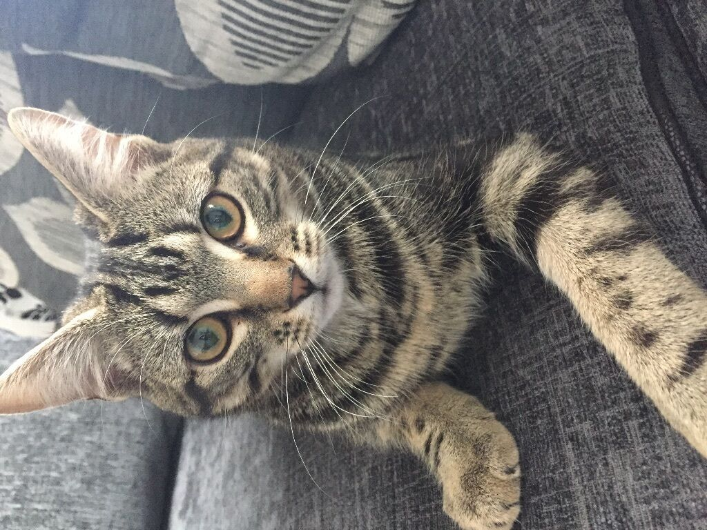 5 MONTH OLD MALE TABBY CAT FOR SALE in Pinner London