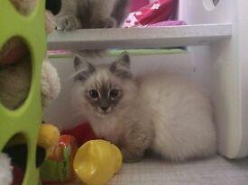 Pedigree Pure Siberian Neva Masquerade kittens