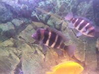 "Beautiful male frontosa cichlid 7"" £60"