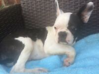 Boston terrier x French bulldog puppys