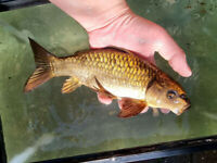4 Large Pond Fish for Sale (details in description)
