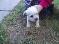 very rare white yorkshire female puppy yorkie